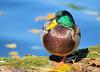 Gonflé à bloc :-) (jean-daniel david) Tags: oiseau oiseaudeau closeup canard colvert mallard eau nature lathielle yverdonlesbains portrait feuillemorte bleu vert jaune