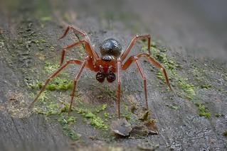 Winzige Baldachinspinne (Linyphiidae) Männchen - Größe ca. 2,5 mm