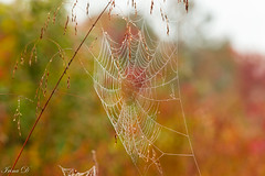 Cobweb and grasses (Irina1010) Tags: cobweb grasses dew droplets bokeh autumn colors nature canon ngc npc