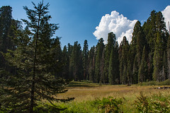 Ambitious Little Guy (njaaames) Tags: trees sequoia sequoianationalpark meadow crescentmeadow california clouds landscape