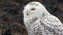 Snowy (photosauraus rex) Tags: owl greatwhiteowl buboscandiacus bird raptor vancouver bc canada snowy snowyowl