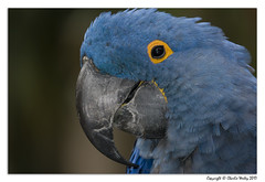 Neptune Is Being Nice Today (wesjr50) Tags: sony rx10 iv hyacinth macaw parrot captive wildlife st augustine alligator farm flash