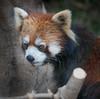 Kobe Panda (Stuck in Customs) Tags: japan kobe rcmemories osaka 80stays treyratcliff stuckincustoms stuckincustomscom hdr hdrtutorial hdrphotography hdrphoto aurorahdr panda red portrait cute furry