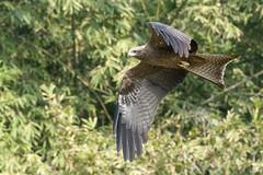 Black Kite soars at Lodhi Gardens (Tim Brown's Pictures) Tags: india newdelhi delhi travel lodhigardens birds wildlife flowers