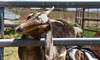 Just turn and pull... (maytag97) Tags: maytag97 long eared goat ear horn farm fence outdoor outside face head sunshine rural nikon d750