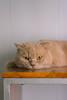 DSC02853 (Wang Foto - 0969 92 97 91) Tags: cat cute pet photography animal cuties kitten kitty lovely tiny mycat babycat sonya7r carlzeiss scottishfold britishshorthair scottishcat catphoto cutecats wangfotovn
