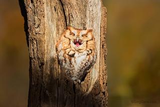 Eastern Screech Owl yawning