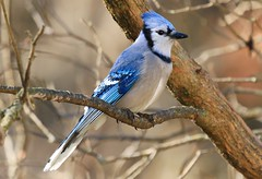 blue jay at Lime Springs IA 854A6858 (lreis_naturalist) Tags: blue jay lime springs howard county iowa larry reis