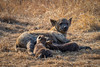Spotted hyena - mother and young suckling (NettyA) Tags: 2017 africa crocutacrocuta day1 krugernationalpark southafrica animal baby hyena juvenile safari spottedhyena wildlife suckling