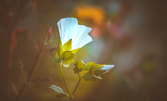 Wildflower (Dhina A) Tags: sony a7rii ilce7rm2 a7r2 kaleinar mc 100mm f28 kaleinar100mmf28 5n m42 nikonf russian ussr soviet 6blades wildflower bokeh