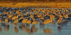 Sandhill Cranes (Grus canadensis) in sunrise light at the Bosque del Apache National Wildlife Refuge.  New Mexico, USA. (cbrozek21) Tags: sandhillcranes gruscanadensis bosquedelapache wildliferefuge newmexico cranes water sunriselight birds animals fauna nature reflection 7dwf birdwatcher