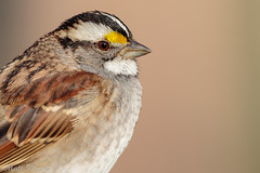 White-throated Sparrow Portrait (Matt F.) Tags: white throated sparrow whitethroatedsparrow