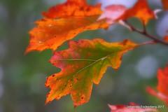 Farben (grafenhans) Tags: sony alpha 68 a68 alpha68 tamron 5663200400 herbst laub farben color autumn eiche blatt grafenwald bottrop nrw natur