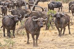 African buffalo watching (NettyA) Tags: 2017 africa africanbuffalo day3 krugernationalpark southafrica synceruscaffer animal capebuffalo safari travel wildlife