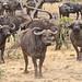 African buffalo watching