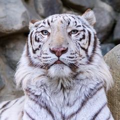 Sky ♂ - His Highness (Belteshazzar (AKA Harimau Kayu)) Tags: sky tiger zoo animal bigcat bigcats feline bengaltiger pantheratigristigris königstiger indischertiger eltigredebengala tigredubengale latigrerealedelbengala бенгальскийтигр 孟加拉虎 whitetiger weisertiger tigreblanco tigreblancroyal белыйтигр 孟加拉白虎 zooshot tobu tobuzoo snowwhite sunbathing canada playful playfulcat playfultiger playfulwhitetiger bengal sex blueeyes curiosity nightzoo whenyouwishuponastar