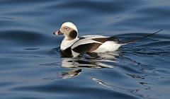 Smooth (Slow Turning) Tags: clangulahyemalis longtailedduck male bird swimming water lake oldsquaw autumn southernontario winterplumage