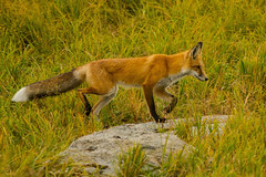 Dance step (ChicagoBob46) Tags: redfox fox vixen yellowstone yellowstonenationalpark nature wildlife ngc coth5 npc