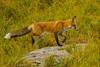 Dance step (ChicagoBob46) Tags: redfox fox vixen yellowstone yellowstonenationalpark nature wildlife ngc coth5 npc