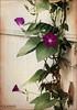 Garden Morning Glories... (angelakanner) Tags: canon70d helios442 garden longisland morning glories purple texture