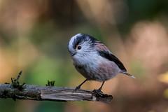 Long Tailed Tit (PINNACLE PHOTO) Tags: birds aegithaloscaudatus longtailedtit tit smallbird grey pink wild wildlife surrey uk
