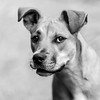 Zoey_Stevens04Nov201775-Edit.jpg (fredstrobel) Tags: dogs pawsatanta phototype atlanta blackandwhite usa animals ga pets places pawsdogs decatur georgia unitedstates us