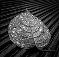 Leaf me alone (Photoecosse) Tags: blackandwhite bw artistic garden plant water waterdroplet autumn leaf leaves rain woodgrain