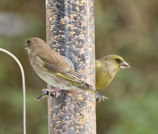 Mr and Mrs Greenfinch
