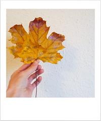 nov 10th (oana-emilia) Tags: glitter yellow leaf leafs autumn fall