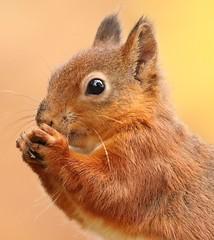 Red squirrel / explored (bilska.anna) Tags: sundaylights