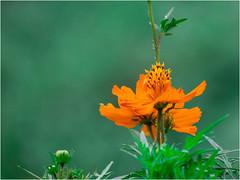 Another yellow flower (Sadot Arefin) Tags: bangladesh dhaka mohammadpur বাংলাদেশ ঢাকা canon canonpowershot sx50 canonpowershotsx50hs powershot powershotsx bridgecamera pointnshoot pointshoot yellow yellowflower flower flora
