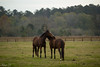 Tell me no lies (Irina1010_out for sometime) Tags: horses brown field fence landscape animals whispering berry canon
