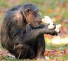 chimpanzee Burgerszoo BB2A6448 (j.a.kok) Tags: chimpanzee chimpansee aap ape monkey burgerszoo animal africa mammal mensaap primaat primate zoogdier dier