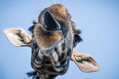 Goofy Giraffe (helenehoffman) Tags: africa kenya tongue masaigiraffe giraffacamelopardalistippelskirchi sandiegozoo giraffe kilimanjarogiraffe conservationstatusthreatened tanzania animal