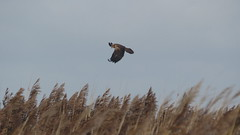 Marsh Harrier over the reeds (hedgehoggarden1) Tags: marshharrier birds nature wildlife reeds norfolk eastanglia uk cleymarshes norfolkwildlifetrust nwt birdofprey