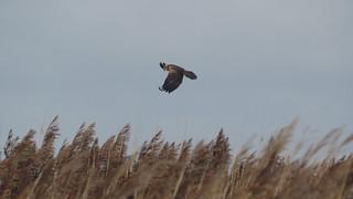 Marsh Harrier over the reeds