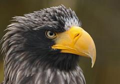 steller´s sea eagle blijdorp BB2A0857 (j.a.kok) Tags: arend zeearend eagle seaeagle stellerzeearend steller´sseaeagle blijdorp vogel bird birdofprey