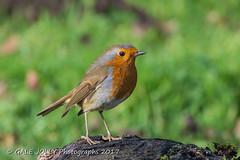 Another Friendly Robin (Gale's Photographs) Tags: robin bird redbreast robinredbreast forestfarm nature wildlife