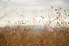 Fading (somazeon) Tags: cosmos flower sky cloud autumn fall コスモス 秋 panasonic lumix