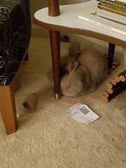 Roy (Pinky Earl) Tags: rabbit bunny buns usagi conejo