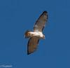 Hawk (mpapial) Tags: hawk midwest midair