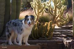 46/52 Dogs' Day in the Garden (Jasper's Human) Tags: 52weeksfordogs 52wfd aussie australianshepherd dog desert cactus