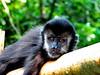 Macaco-prego macho juvenil (marianaplorenzo) Tags: animais behavior brasil brazil capuchinmonkey comportamento deitado londrina macacoprego macacos primatas primates sapajus sapajusnigritus thinking uel universidadeestadualdelondrina wild
