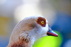 egyptian goose (I was blind now I see!) Tags: portrait egyptiangoose eye head beak colour bokeh closeup dreamy thinking beautiful beauty headshot animal bird birding birds birdphotography birdwatching nature