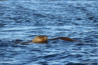 Lobos Marinos - South American sea lion 4