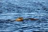 Lobos Marinos - South American sea lion 4 (pniselba) Tags: camarones chubut argentina mar sea ocean oceano lobomarino lobo southamericansealion sealion