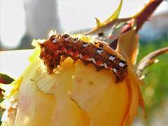 Caterpillar (cami.carvalho) Tags: caterpillar