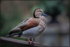 0589-  Ringed Teal Duck (canuckguyinadarkroom) Tags: bird birdkingdom niagarafalls