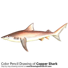 Copper Shark with Color Pencils [Time Lapse] (drawingtutorials101.com) Tags: copper shark fishes sharks animals animal bronze whaler narrowtooth sketching sketch sketches pencil draw drawing drawings color colors coloring how timelapse video