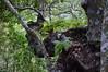 Davallia canariensis (L.) Sm. (GaboHQ) Tags: anaga taganana forest laurelforest hike reservadelabiosfera biospherereserve cloudforest flora bosque bosquedelaurisilva laurisilvahúmeda laurisilvaseca canaryislands tenerife vueltasdetaganana sendero trail autumn fern davallia davalliacanariensis